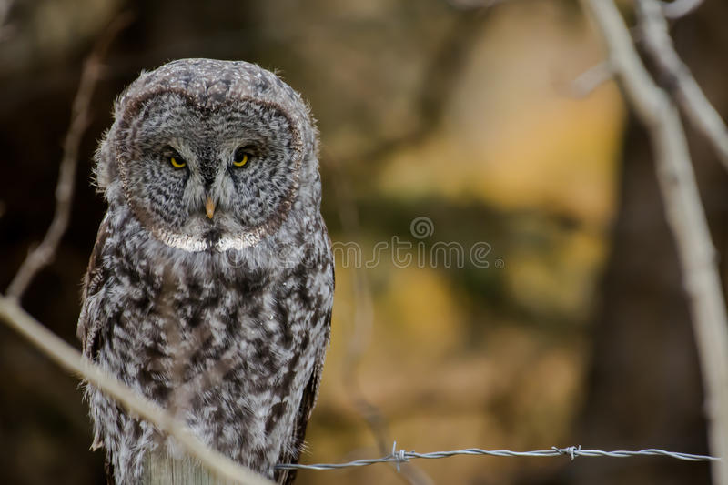 Great Grey owl on a fence in the fall stock photos
