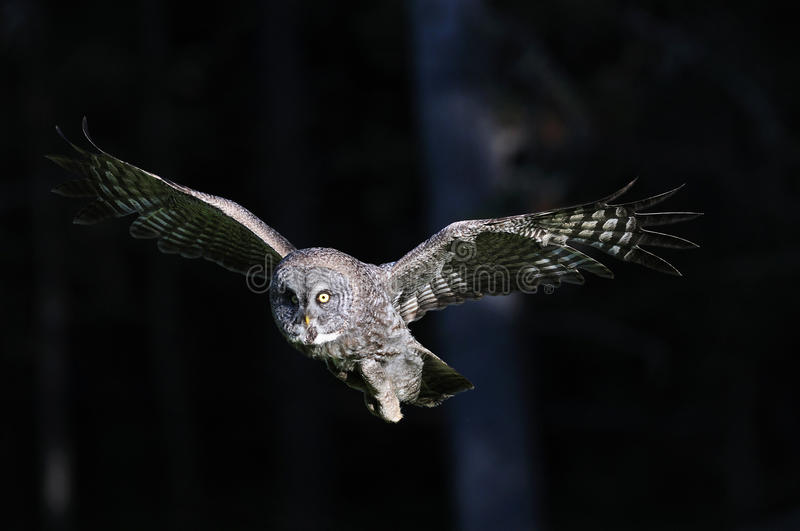 Great Grey Owl in-flight. Hovering and flying looking for food, this wild great grey owl is on the hunt royalty free stock photo