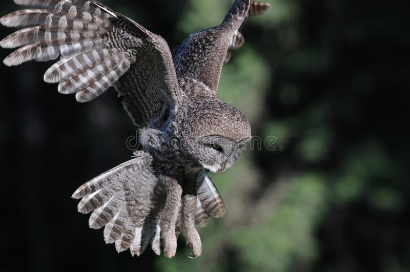 Great Grey Owl in-flight. Hovering and flying looking for food, this wild great grey owl is on the hunt stock photo