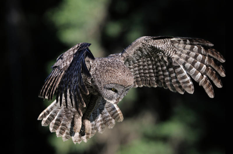 Great Grey Owl in-flight. Hovering and flying looking for food, this wild great grey owl is on the hunt stock images