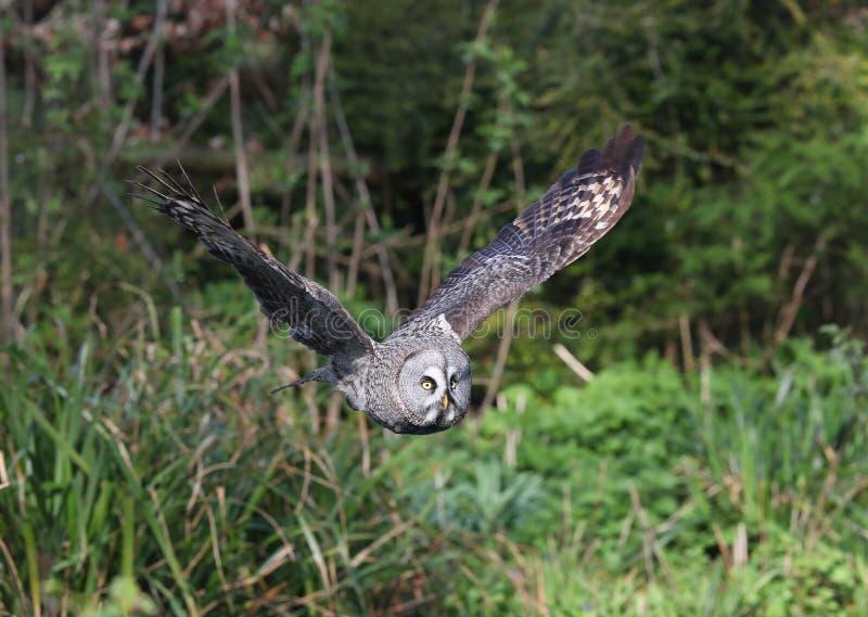 Great Grey Owl in flight stock photo