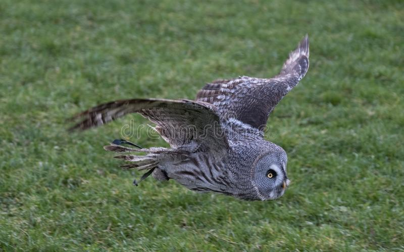 Great grey owl in flight with grass field in background. stock images