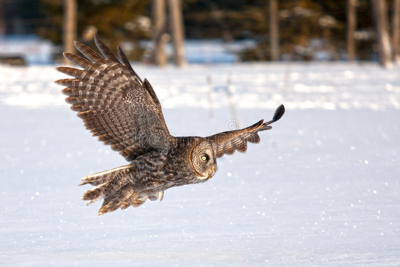 Great grey owl (Strix nebulosa) in flight hunting over a snow covered field in Canada stock image