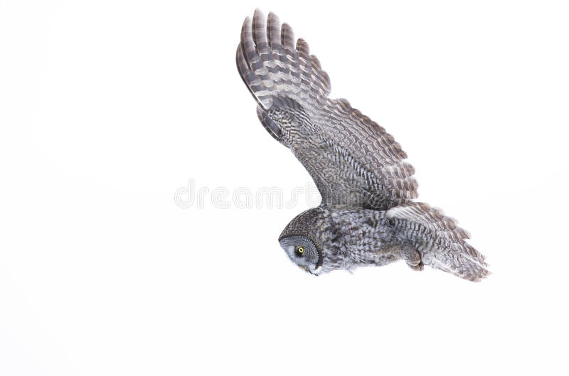 Great grey owl (Strix nebulosa) isolated against a white background hunting over a snow covered field in Canada stock image