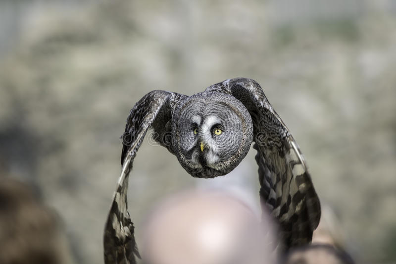 Great Grey Owl flying low over people's heads royalty free stock image