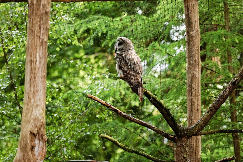The great grey owl or great gray owl, Strix nebulosa, documented as the world`s largest species of owl by length stock photo