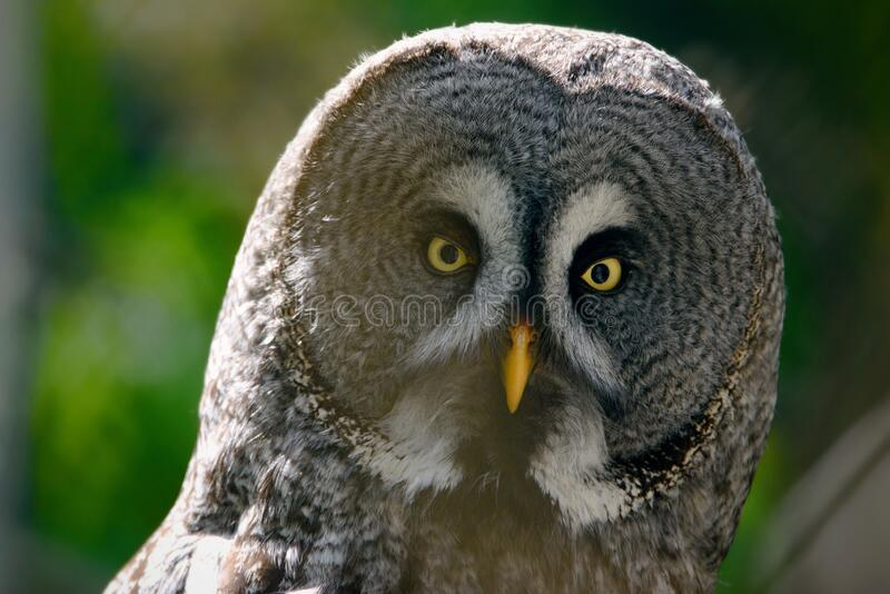 The great grey owl or great gray owl Strix nebulosa stock image