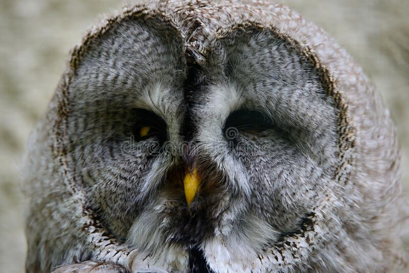 The great grey owl or great gray owl Strix nebulosa royalty free stock photography
