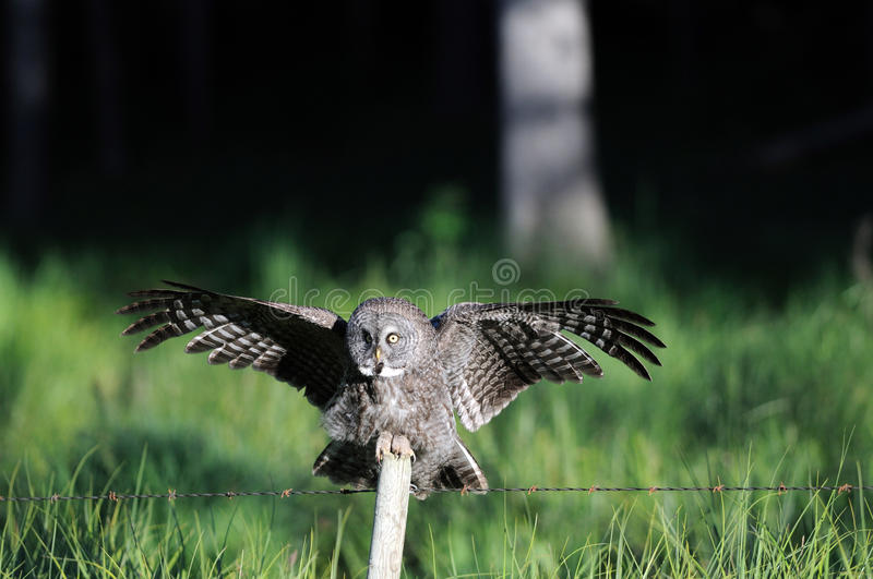 Great Grey Owl Landing on Post. Great Grey Owl coming to a landing on a wood fence post royalty free stock images
