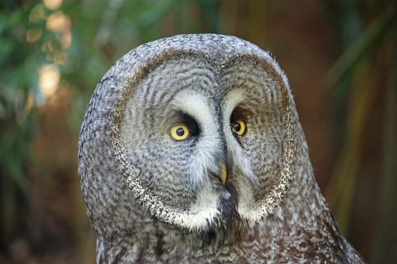 Great grey owl looking forwards. Great grey owl Strix nebulosa head and neck looking forwards with a blurred background stock photos
