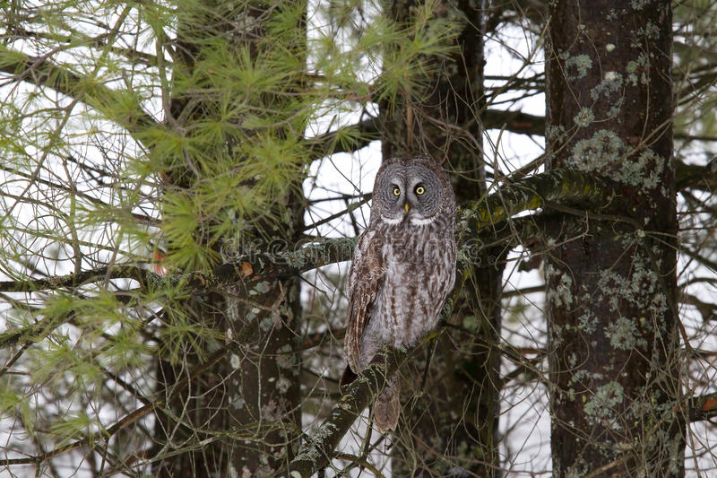 Great grey owl (Strix nebulosa) perched in a tree hunting over a snow covered field in Canada stock images