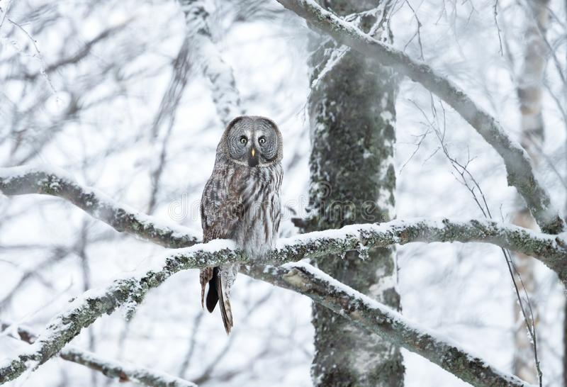 Great Grey Owl perching on a tree branch in winter stock photography