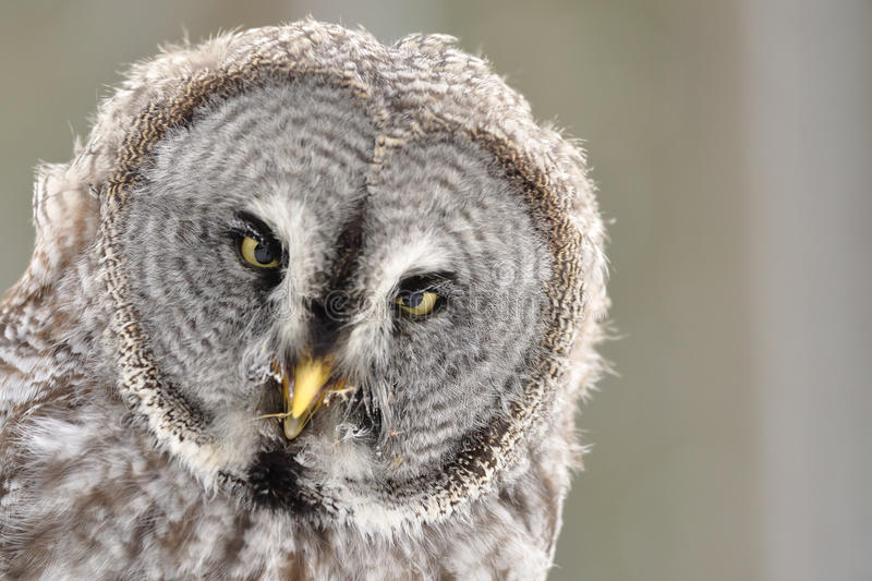 Download Great Grey Owl  Portrait Stock Photography - Image: 24014642