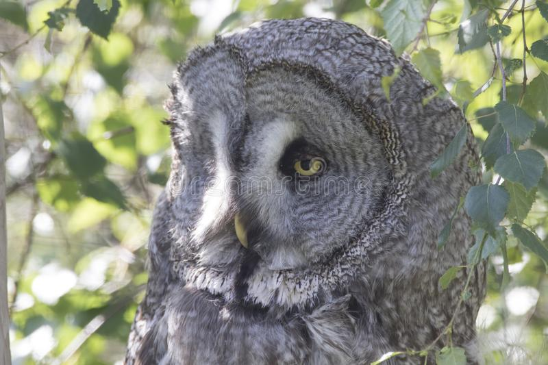Great grey owl portrait, close up stock photo