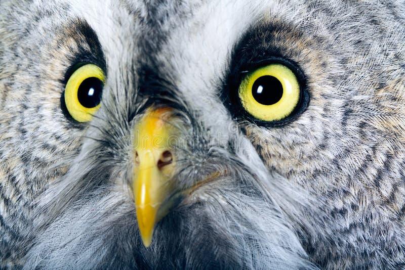 Great Grey Owl. Portrait of the Great Grey Owl (Strix nebulosa stock photography