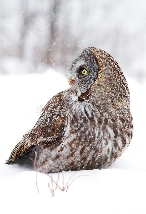 Great grey owl (Strix nebulosa) isolated against a white background hunting on a snow covered field in Canada stock photo