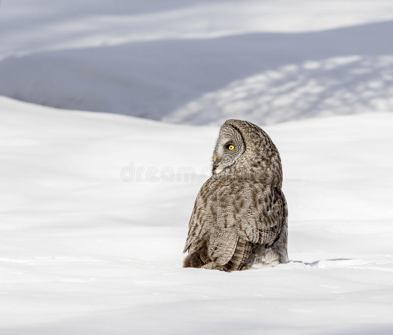 Great grey owl standing in deep snow in meadow stock photo