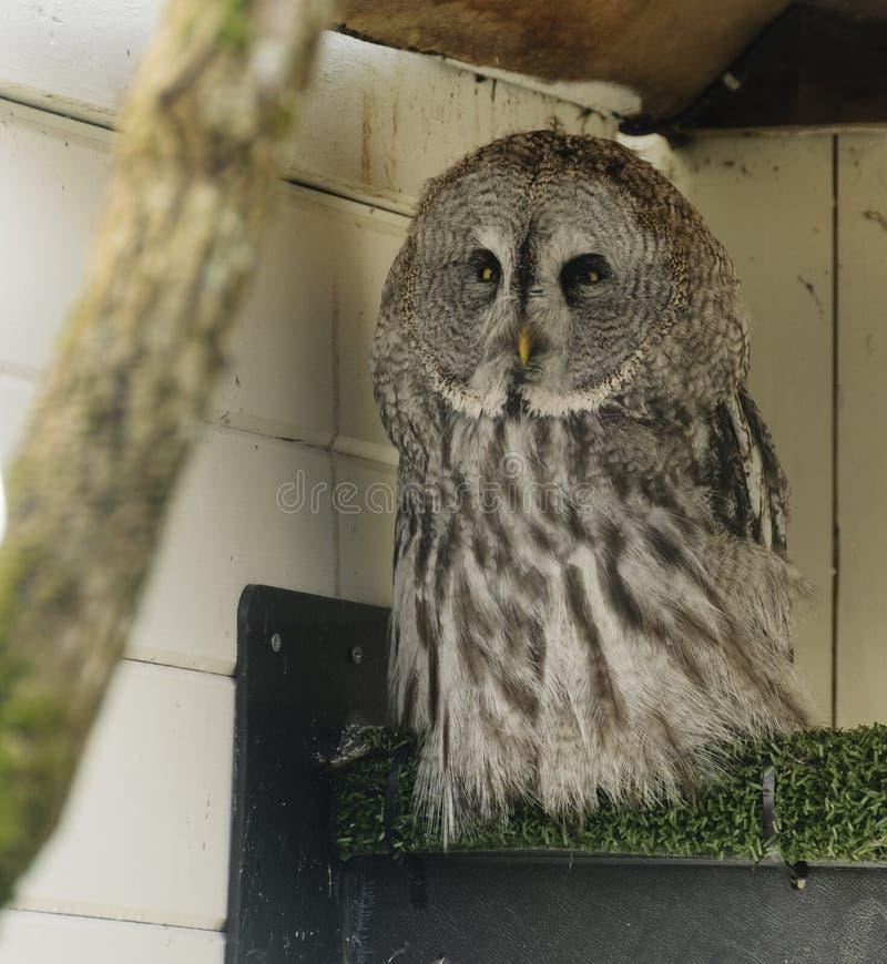 Great grey owl (strix nebulosa) royalty free stock photo