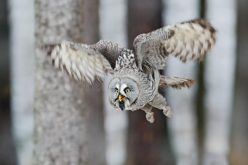 Great Grey Owl, Strix nebulosa, flight in the forest, blurred trees in background royalty free stock images