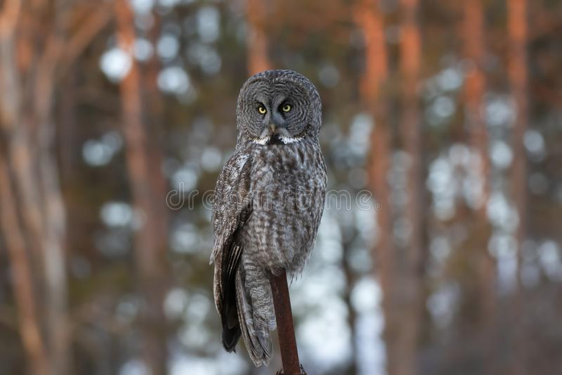 A Great grey owl Strix nebulosa perched on an iron post in winter in Canada stock photo