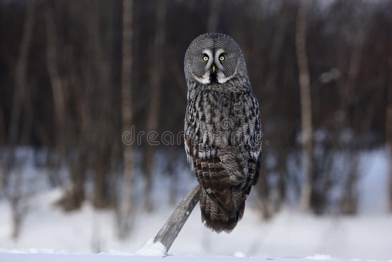 Great-grey owl, Strix nebulosa royalty free stock photo
