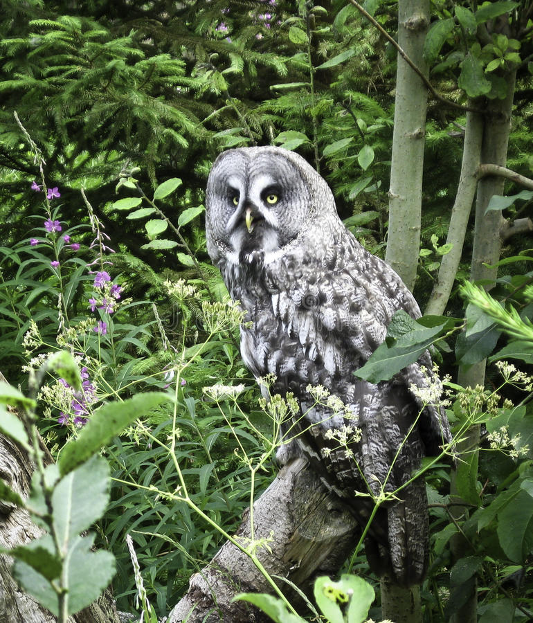 Great Grey Owl. (strix nebulosa) sitting on a log in a brushy area stock photography