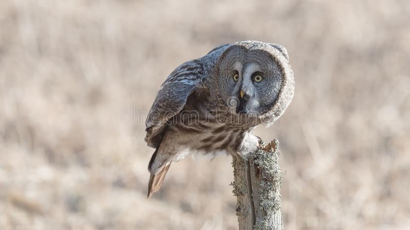 Great Grey Owl Sweden. Great grey owl hunting in the province of Västmanland in Central Sweden in April 2018 royalty free stock image