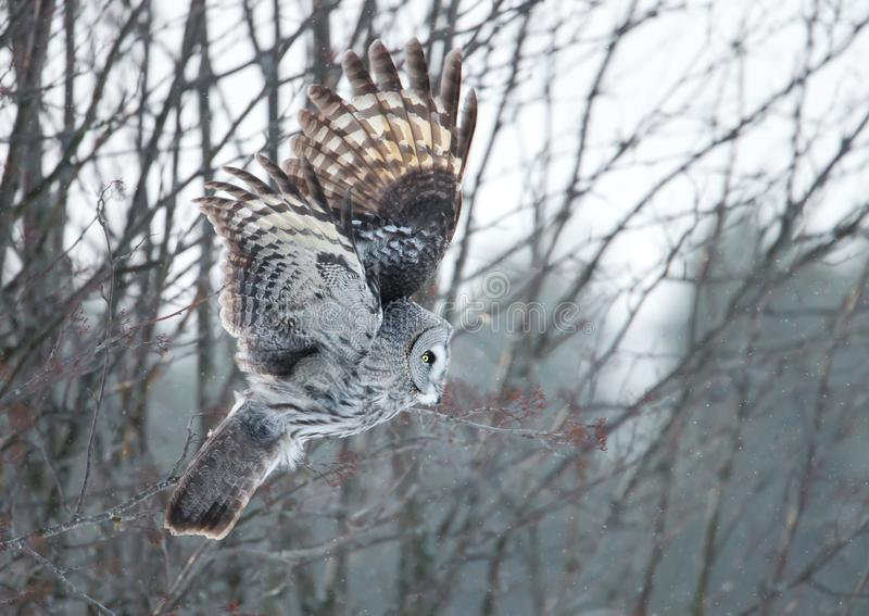 Great grey owl swooping with the trees at the background royalty free stock photography