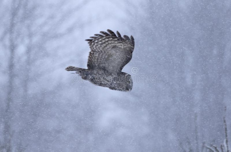 A Great grey owl with wings spread out in flight hunting through the snow falling in Canada stock photography