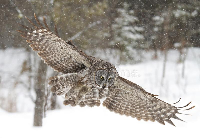 A Great grey owl with wings spread out prepares to pounce on prey as the snow falls in Ottawa, Canada royalty free stock photography