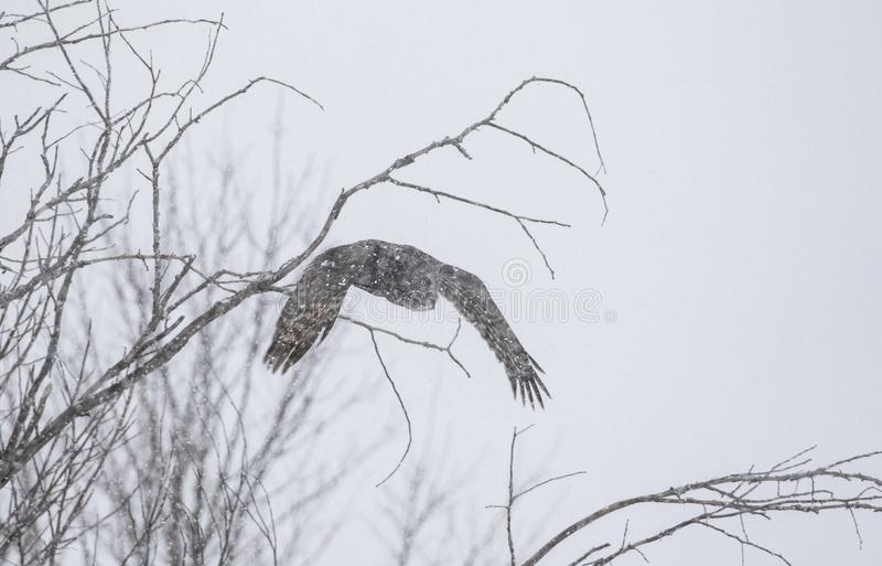 A Great grey owl with wings spread out prepares to pounce on prey as the snow falls in Ottawa, Canada stock images