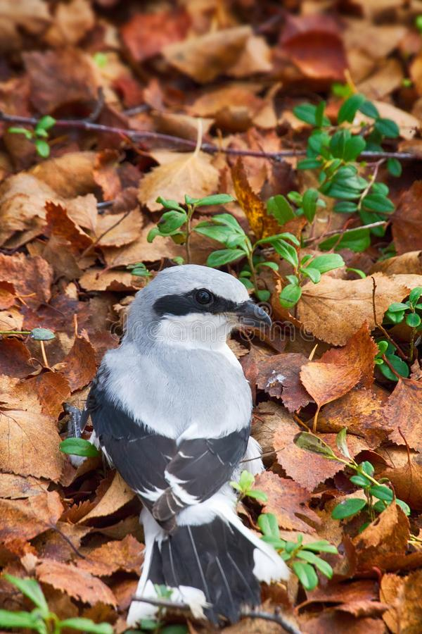 Free Great Grey Shrike In Search Of Food Stock Images - 108746634