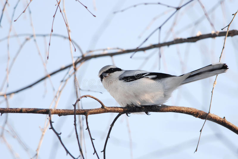 Great Grey Shrike. On a branch in winter royalty free stock photography
