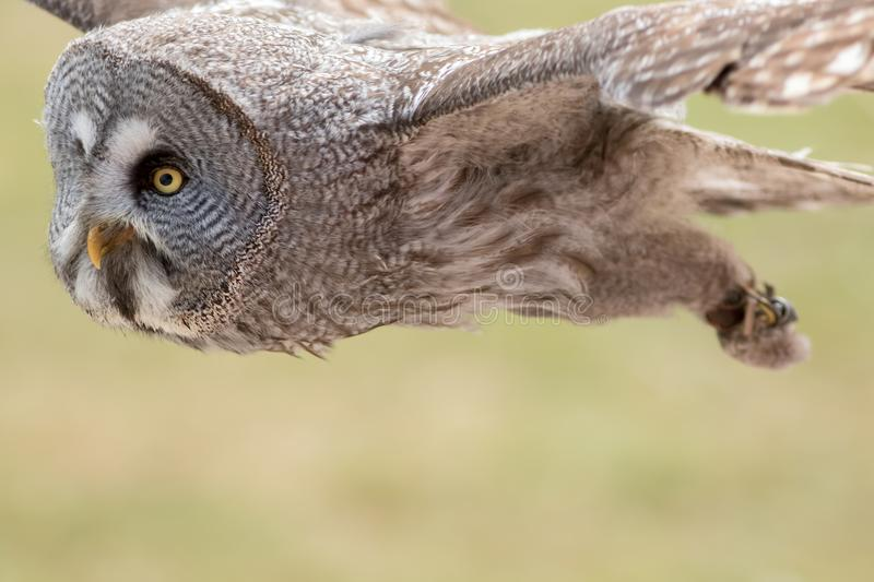Great Grey 0wl Strix nebulosa flying. Bird of prey flight. stock photography