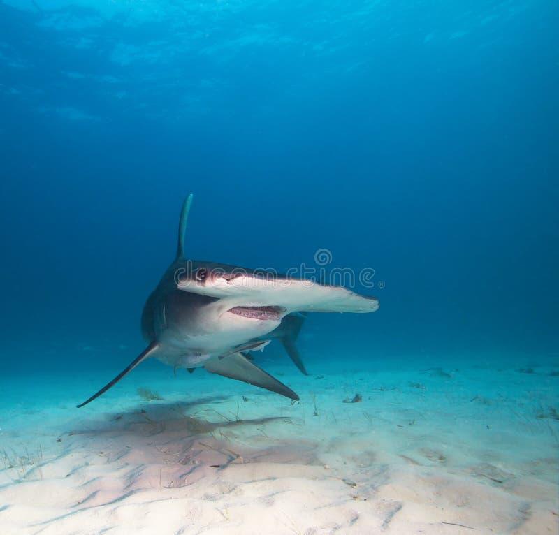 Great hammerhead shark. stock photo