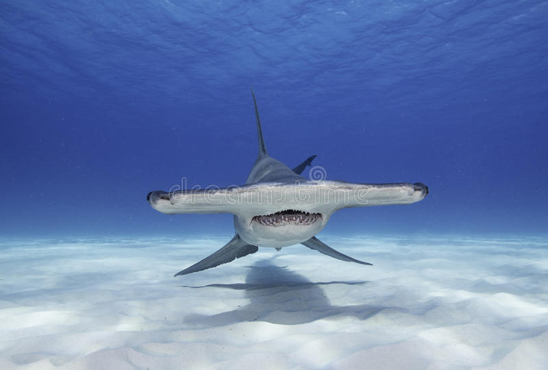 Great Hammerhead Shark stock image