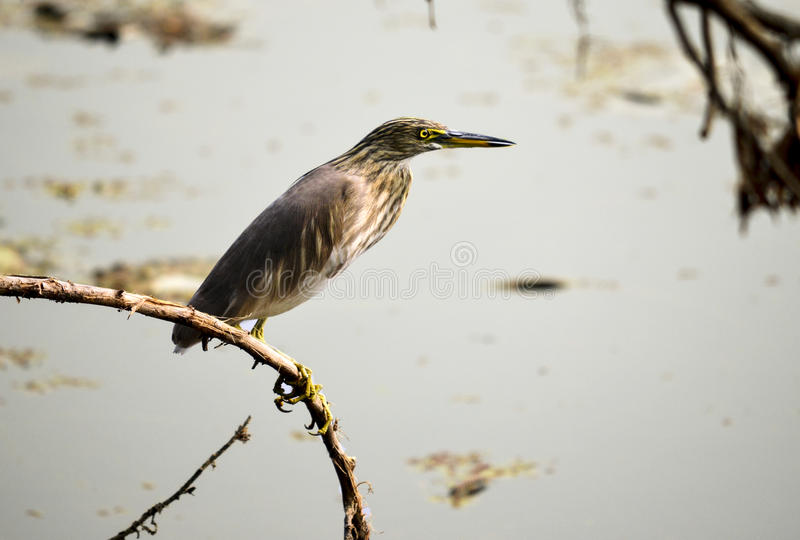 Great Heron royalty free stock image