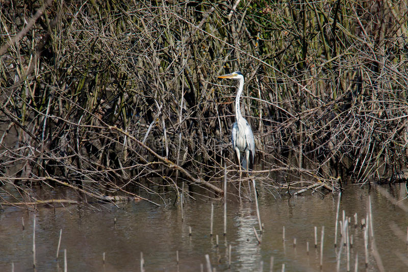 Great heron hunting in a swamp stock photography