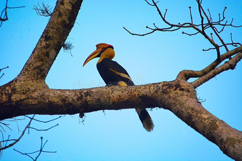 The great hornbill, Buceros bicornis stock images
