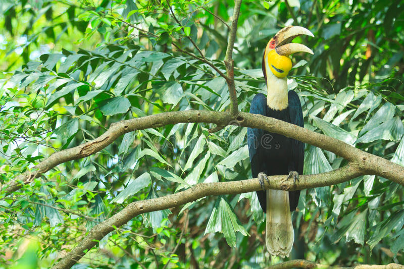 Great hornbill royalty free stock images