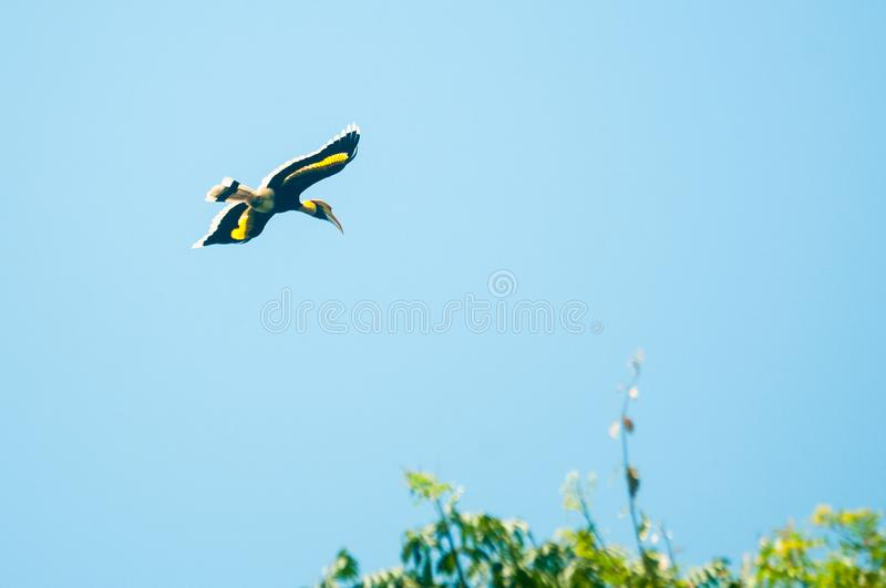 Great hornbill at Khao Yai national park. Flying in blue sky with Family royalty free stock image