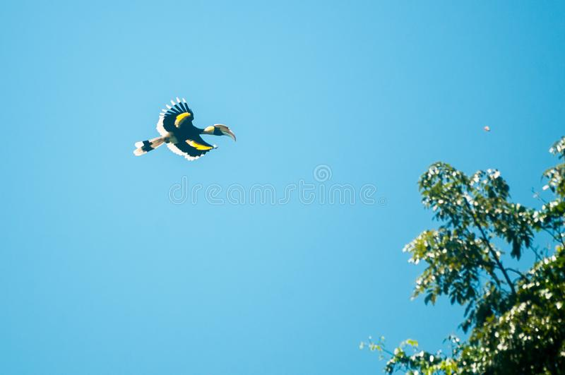 Great hornbill at Khao Yai national park. Flying in blue sky with Family royalty free stock images