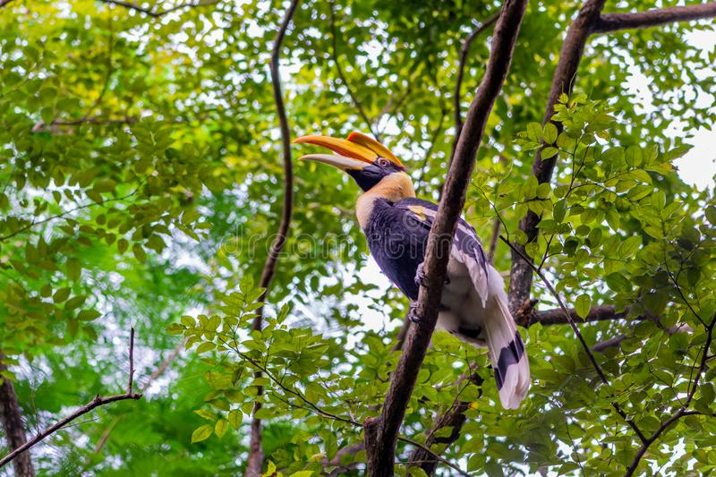 Great hornbill in rain forrest royalty free stock images