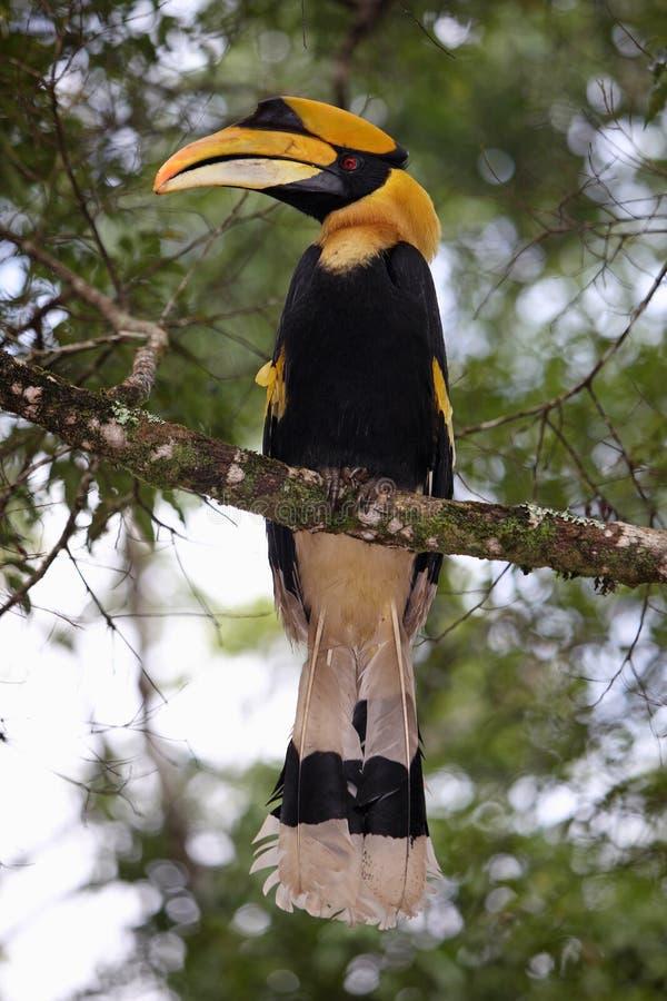 Great hornbill stock images