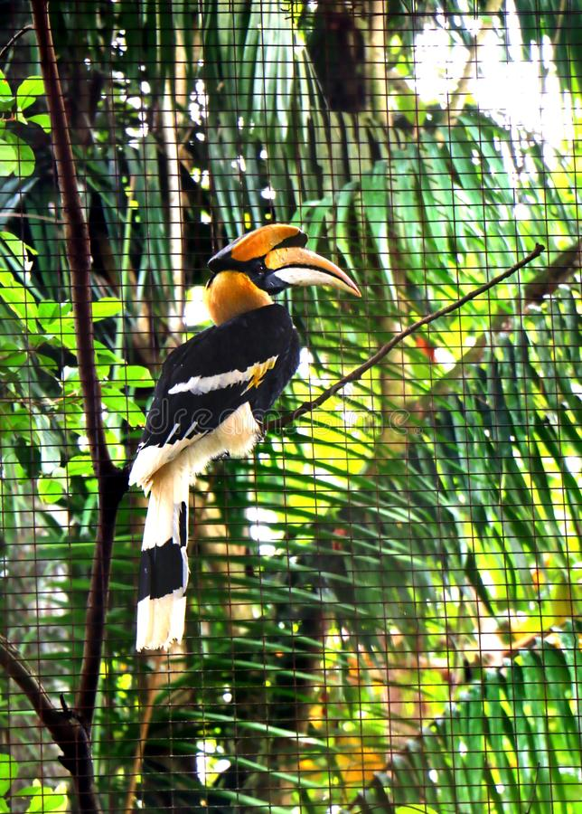 The Great hornbills Bucerotidae bird. The Great hornbills Bucerotidae are a family of bird found in tropical country stock images