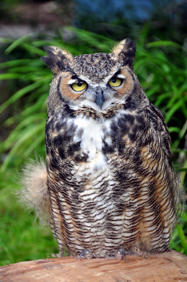 Download Great Horned Owl stock photo. Image of natural, beauty - 10638890