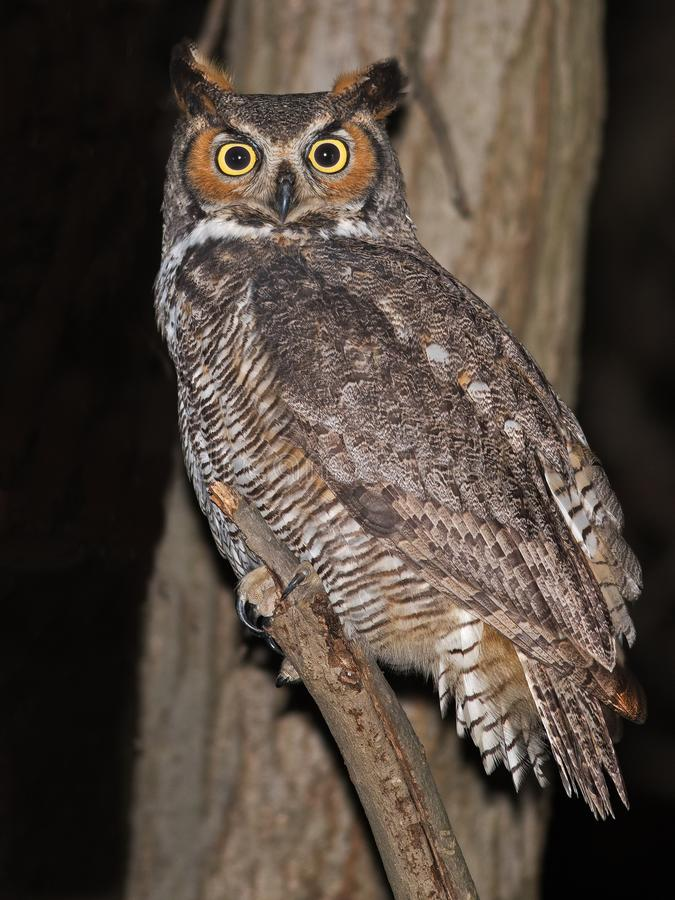 Free Great Horned Owl Royalty Free Stock Photos - 114391828