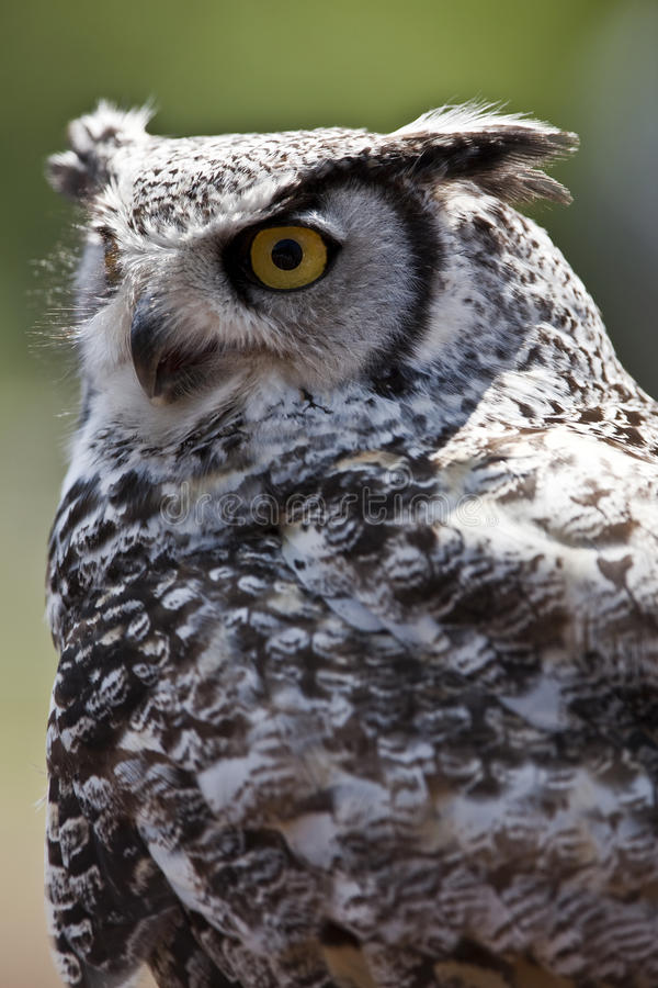 Free Great Horned Owl Royalty Free Stock Image - 13052496