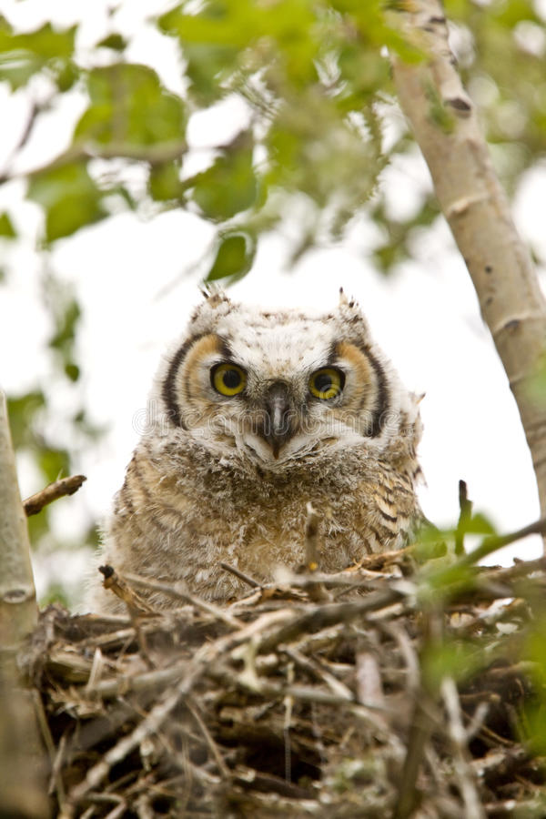 Download Great Horned Owl stock photo. Image of down, ecosystem - 14233580
