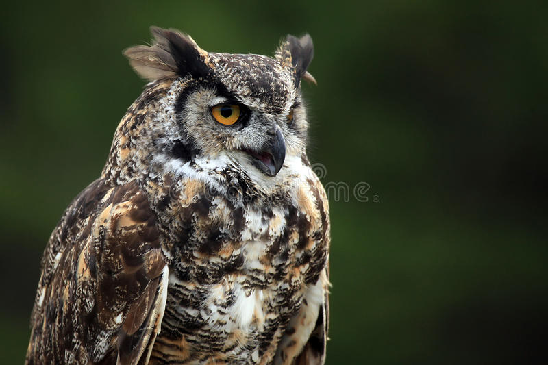 Download Great Horned Owl stock photo. Image of outdoors, great - 16978496